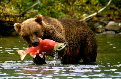 alaska-bear-viewing-brown-bear-sockeye