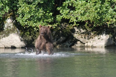 Bear viewing with Steller Air via Floatplane: McNeil River, Brooks Camp, Katmai and more!