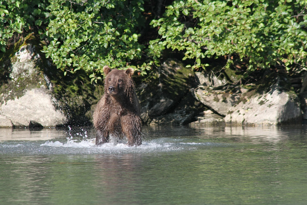 Mcneil River Bear Viewing Tours