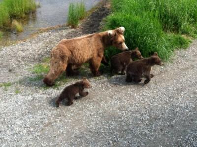 Bear-Viewing-3-cubs