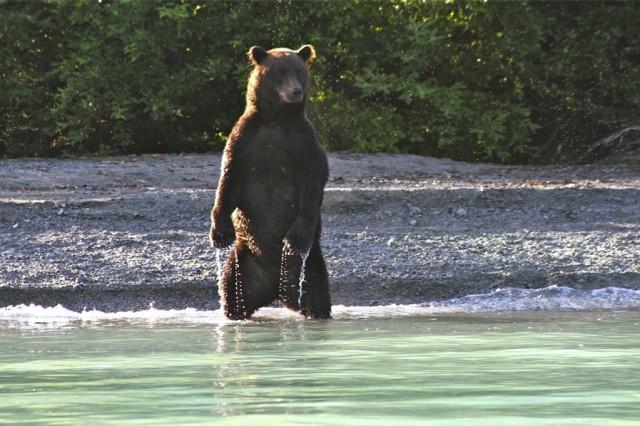 Bear-viewing-from-Homer-Alaska-Brooks-Camp