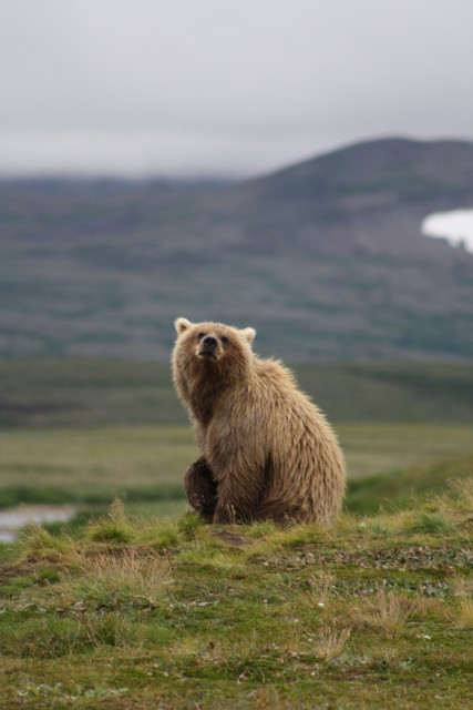 McNeil-River-Bear-Homer-Alaska