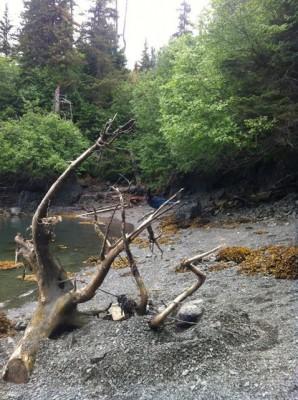 Halibut Cove Lagoon, Steller's Jay, Katchemak Bay State Park, Homer, Alaska